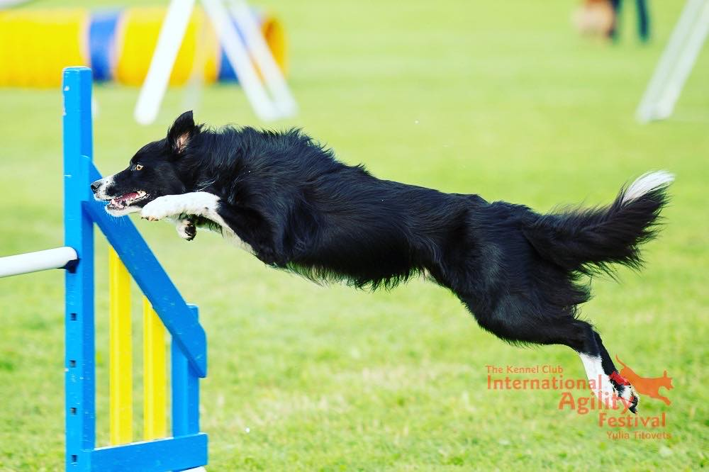 Becky Sinclair is preparing for Olympia, the most important showcase event for agility in the UK